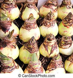 Group of springtime Amaryllis flower bulbs