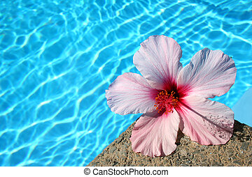 Flower by Pool - Pink hibiscus flower by the edge of bright...