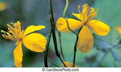 Flower Celandine in Poplar Pooh
