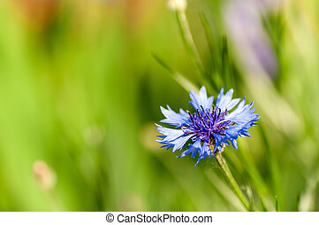 flower chicory closeup