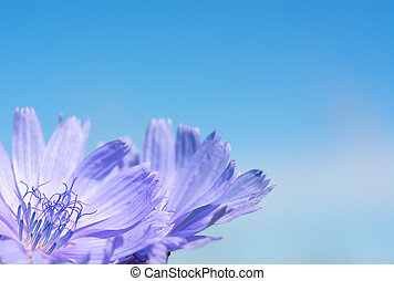 Flower chicory on the background of sky.