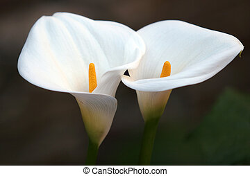 Flower Couple - 2 calla lilies