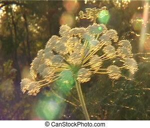 Flower cow-parsnip on kontrovom light - hogweed flower on...
