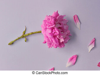 flower cut by a rosebuch fuchsia pink with double-flowered ...