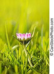 flower daisy in grass