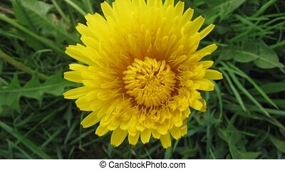 Flower dandelion opening blossom - Time lapse video...