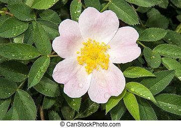Flower dog rose after the rain