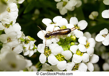 Flower Earwig - Earwigs from the insect order Dermaptera...