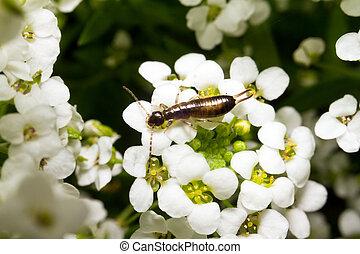 Flower Earwig - Earwigs from the insect order Dermaptera...