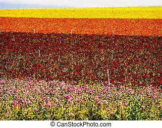 Flower Farm in Carlsbad, California
