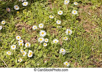 flower field daisies