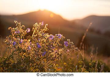 Flower field in sunset