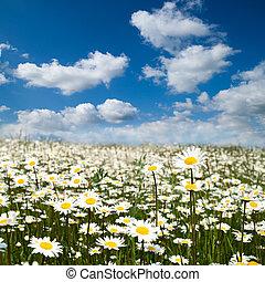 Flower field - Flower summer field with blue sky.