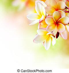 flower., frangipani, obrazný, design, plumeria, lázně, hraničit
