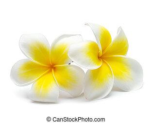 flower frangipani on white background