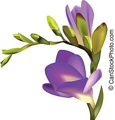 Flower Freesia vector illustration