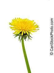 flower from dandelion on white 02