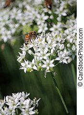 flower garlic