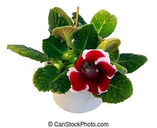 Flower gloxinia in pot