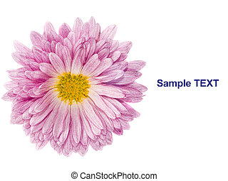 Flower - golden-daisy or chrysanthemum