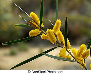 Flower Golden wattle - The Golden Wattle is the Australian ...