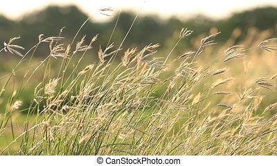 Flower Grass in breeze, Moved by Summer Wind Nature.