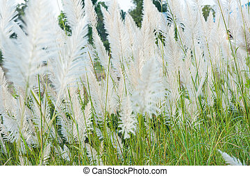 Flower grass while wind blow with sunshine at evening.