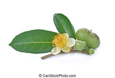 flower, Green tea leaf, tea seed on white background