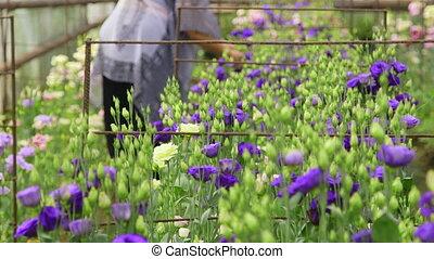 Flower greenhouse - Female gardener working in a flower...