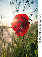flower., haut, champ, sun., pavot, sauvage, fin, fleurs, rouges, field.