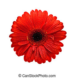 flower head isolated on white