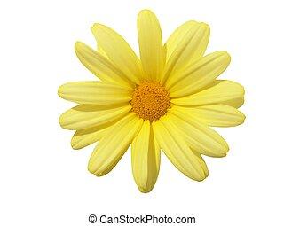 Flower Head - Yellow flower head: Argyranthemum frutescens....