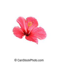 Flower hibiscus isolated on white background