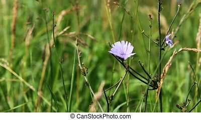 Flower hidden in grass - Blue flower hidden in grass field...