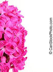 flower hyacinth on white background