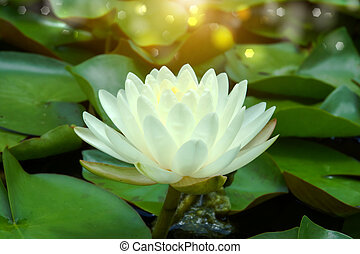 flower., hybride, nénuphar, beau