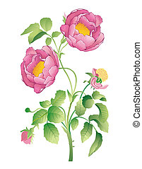 flower - illustration drawing of peony