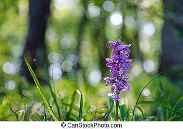 Early purple orchid in morning sunshine after rain.