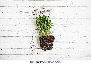 Flower in pot on white wooden table, gardening concept.