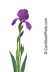 Flower iris, lilac petals and green leaves, isolated on white background