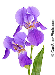 Violet flower iris on the white background