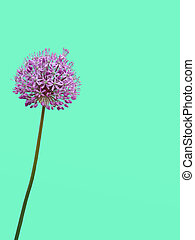 Flower is an allium gladiator on a double yellow-turquoise background.