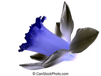 Flower isolated - Concept of blue flower and grey petals...
