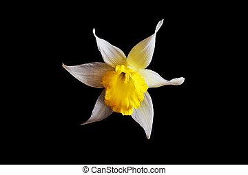 flower isolated on black background