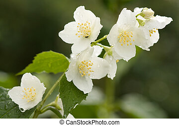 jasmine with dew drops