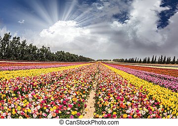 Flower kibbutz near Gaza Strip. The sun's rays shine from...