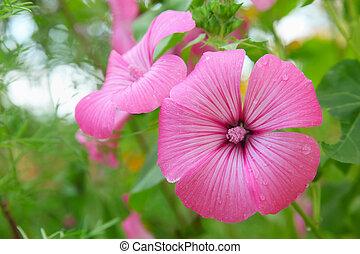 Flower Lavatera trimestris in garden