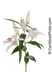 flower (lilly) - beautiful flower