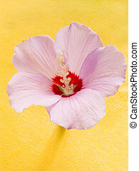 Mallow - Flower Mallow on a yellow background