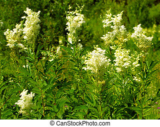 Flower meadowsweet in a forest glade on a sunny day